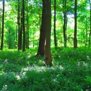 The value of trees in adaptation